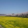都幾川の桜