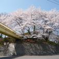 玉川小学校の桜