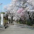 尾崎観音の桜