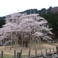 根尾谷薄墨桜