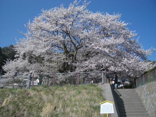 神代桜 素桜神社