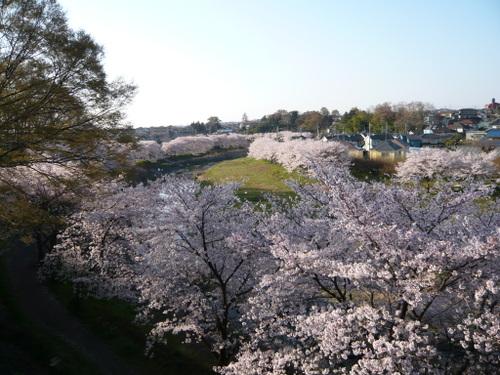 平井川の桜