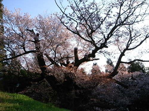 光厳寺の山桜